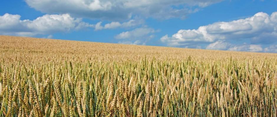 Der Hartweizen ist eine der wirtschaftlich bedeutendsten Weizen-Arten und wird zur Herstellung von Pasta verwendet.