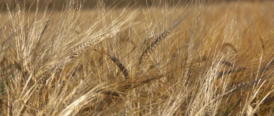 Mehr als zwei Drittel des für die Nudelproduktion notwendigen Hartweizens bezieht Deutschland aus dem Ausland.